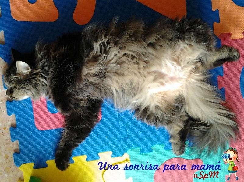 Gato maine coon durmiendo la siesta